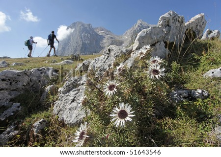 Close up of an alpine plant with the background of two hikers on a trail in the mountains - stock photo