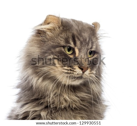 Close-up of an American Curl looking away in front of white background