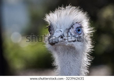 Close up of an American Rhea