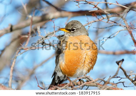 Close up of an American robin at winter time. State bird of Connecticut, Michigan and Wisconsin.  - stock photo