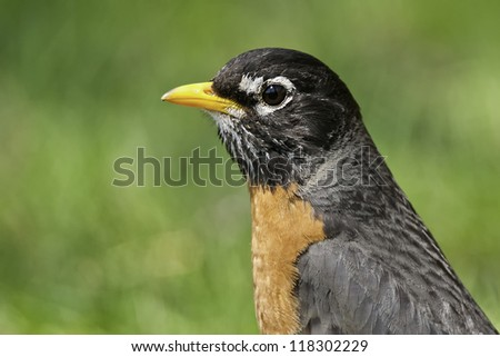 Close up of an American Robin in the grass.
