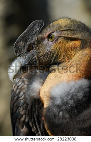 close-up of an Andean Condor (Vultur gryphus)