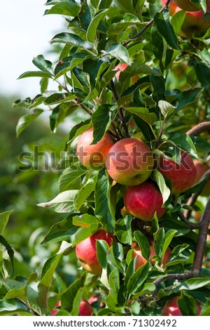 close up of an apple tree in autumn - stock photo