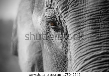 Close up of an Asian elephant - stock photo