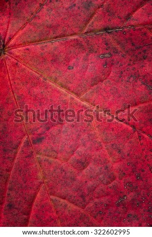 Close up of an autumn colorful maple leaf
