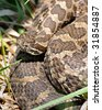 Close up of an Eastern Massasauga Rattlesnake - stock photo