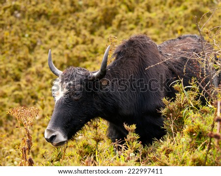 Close up of an eating yak in the himalayas in Bhutan - stock photo