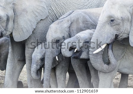 Close up of an elephant Family drinking water - stock photo
