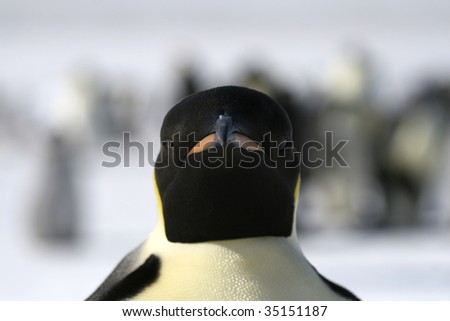 Close-up of an emperor penguin (Aptenodytes forsteri) on the ice in the Weddell Sea, Antarctica