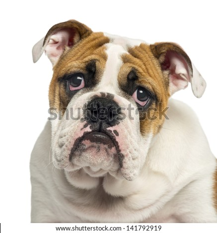 Close-up of an English Bulldog puppy looking desperate, 4 months old, isolated on white - stock photo