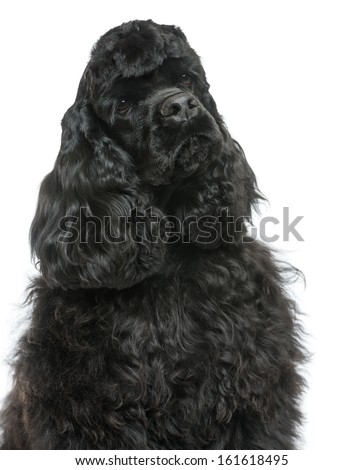 Close-up of an English Cocker Spaniel looking away, isolated on white