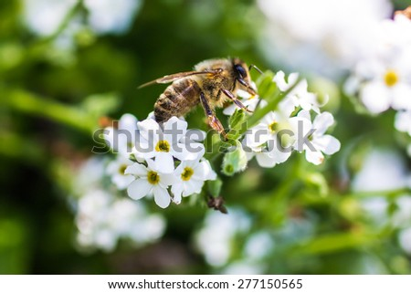 Close up of an European honey bee on a flower - stock photo