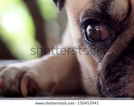 close up of an eye of a small white pug with expression of thinking, lonely, sad - stock photo