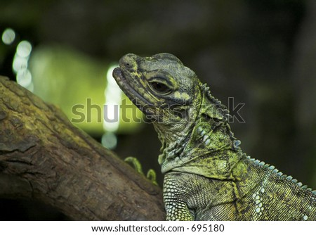 Close up of an Iguana