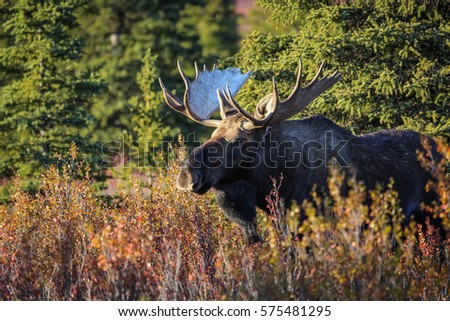 Close up of an impressive male Moose in the late afternoon light and autumnal landscape in Denali National Park, Alaska