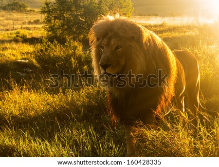 Close up of an old large male lion with the sun shining brightly on his mane in the wild savannah in South Africa - stock photo