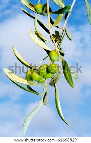 close up of an olive tree over the sky - stock photo