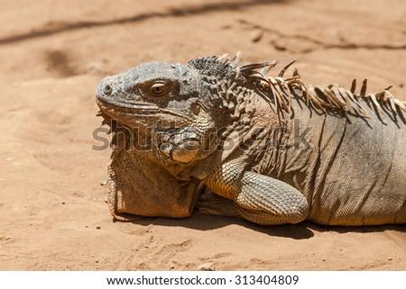 Close-up of an orange colored male Green Iguana in the sun (Iguana iguana) - stock photo