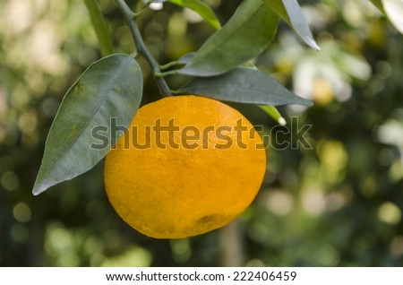 Close up of an orange hanging on a tree