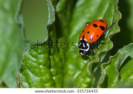 close up of an orange ladybug on a green leaf under bright sunny conditions - stock photo