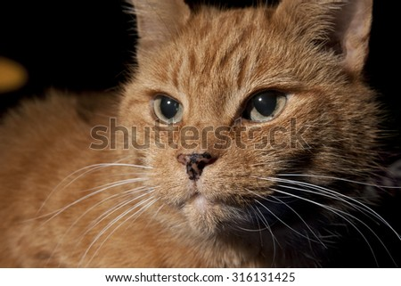 Close-up of an orange tabby cat with a spotted nose. - stock photo