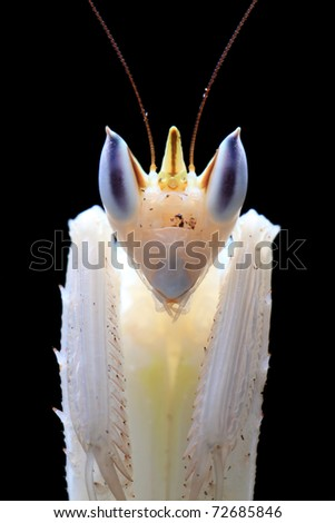 Close up of an orchid mantis over black background.