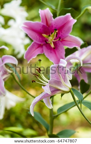 Close up of an oriental tiger lilly - stock photo