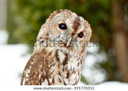 Close up of an owl - stock photo