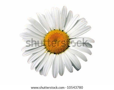 Close-up of an ox-eye on a white background, isolated - stock photo