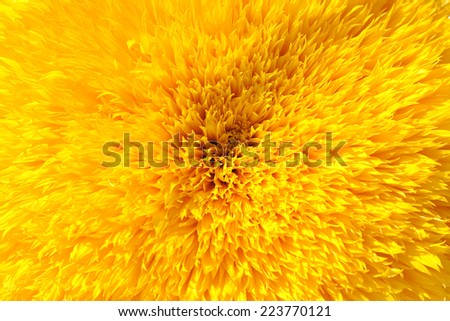 Close-up of an sunflower blossom - stock photo