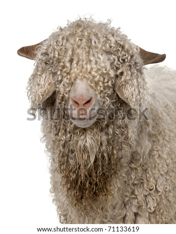 Close-up of Angora goat in front of white background - stock photo