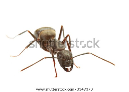 close up of ant isolated on white, focus on head, large uncropped 8MP file