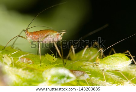 Close-up of Aphids on a leaf - stock photo