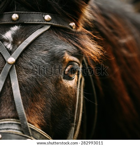 Close Up Of Arabian Bay Horse- Very Shallow Field Of Depth