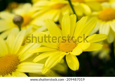 close up of Arnica montana, European flowering plant used in herbal medicine - stock photo