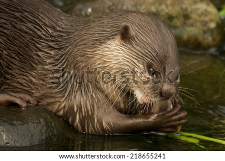 Close-up of Asian short-clawed otter chewing fish