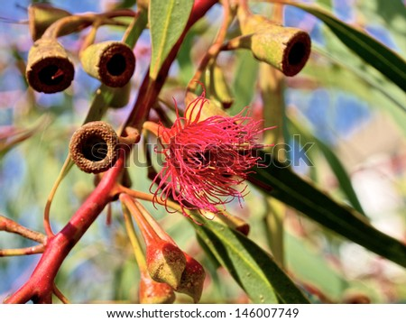 close up of australian flowering gum tree with selective focus - stock photo