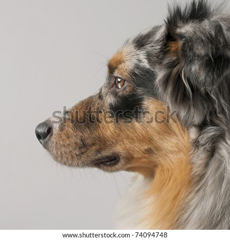 Close-up of Australian Shepherd dog, 10 months old, in front of grey background - stock photo