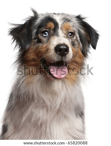 Close-up of Australian Shepherd dog, 1 year old, in front of white background - stock photo