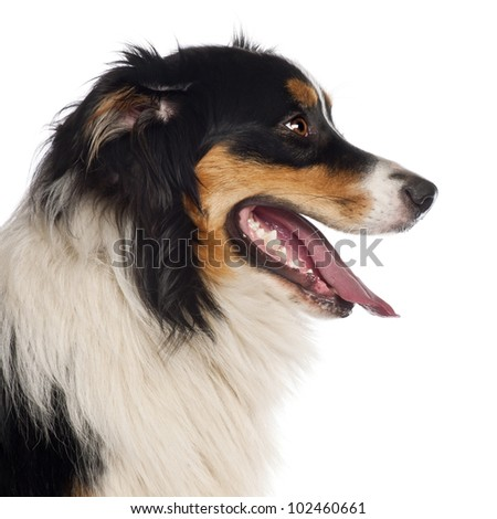 Close up of Australian Shepherd, 1 year old, in front of white background - stock photo