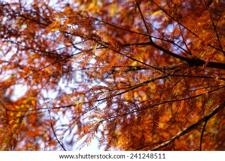 close up of autumn Bald Cypress tree (Taxodium distichum or Sothern cypress ) - stock photo