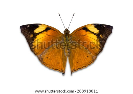 Close up of Autumn Leaf (Doleschallia bisaltide) butterfly, isolated on white background with clipping path - stock photo