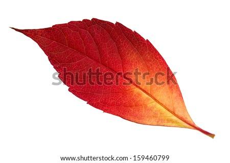 Close up of autumn leaf isolated on white background - stock photo
