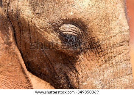 Close Up of Baby Calf African Elephant Eyes - stock photo