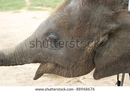close up of baby elephant's head. - stock photo