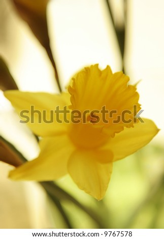 Close-up of backlit daffodil blossom on pale yellow background.