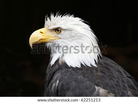 Close Up of Bald Eagle - stock photo