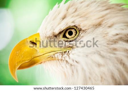 Close up of bald eagle face - stock photo