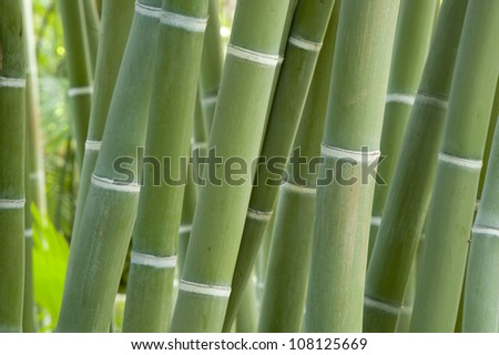 Close up of bamboo growing in a Huerto del Cura Garden, Elche, Alicante province, Spain - stock photo