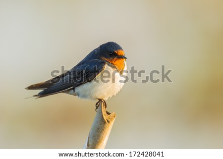 Close up of Barn Swallow (Hirundo rustica)  in nature - stock photo
